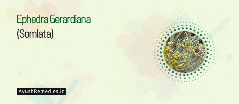 Ephedra Gerardiana (Somlata)